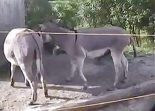 Mule pokes his girlfriend in doggy pose